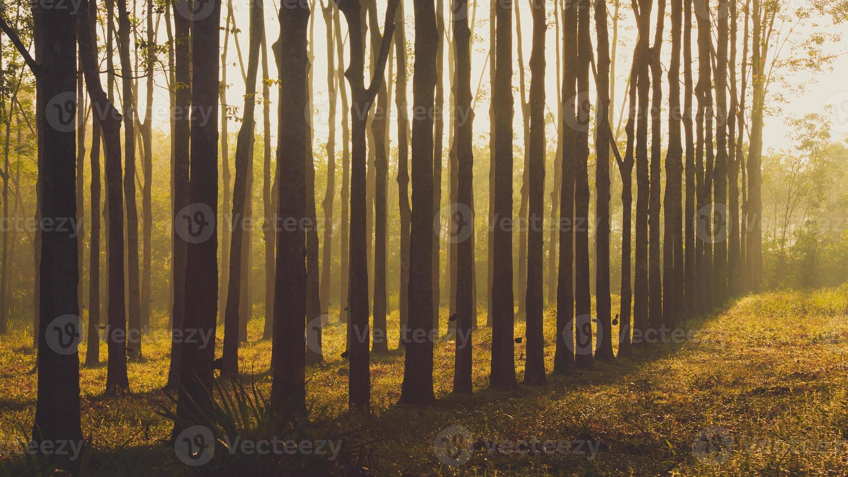 árbol de caucho al amanecer en la niebla foto