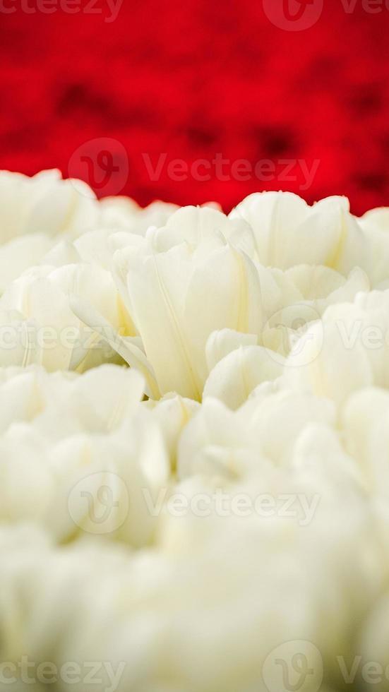 tulipanes en primavera en los países bajos. foto