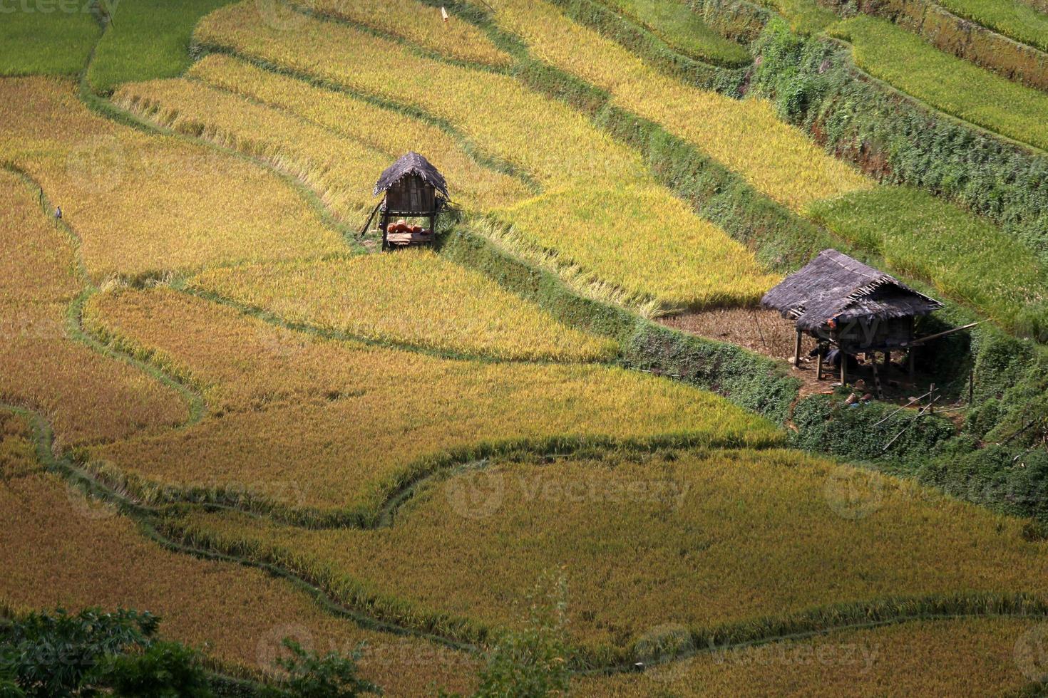 Rice Farm in Vietnam photo