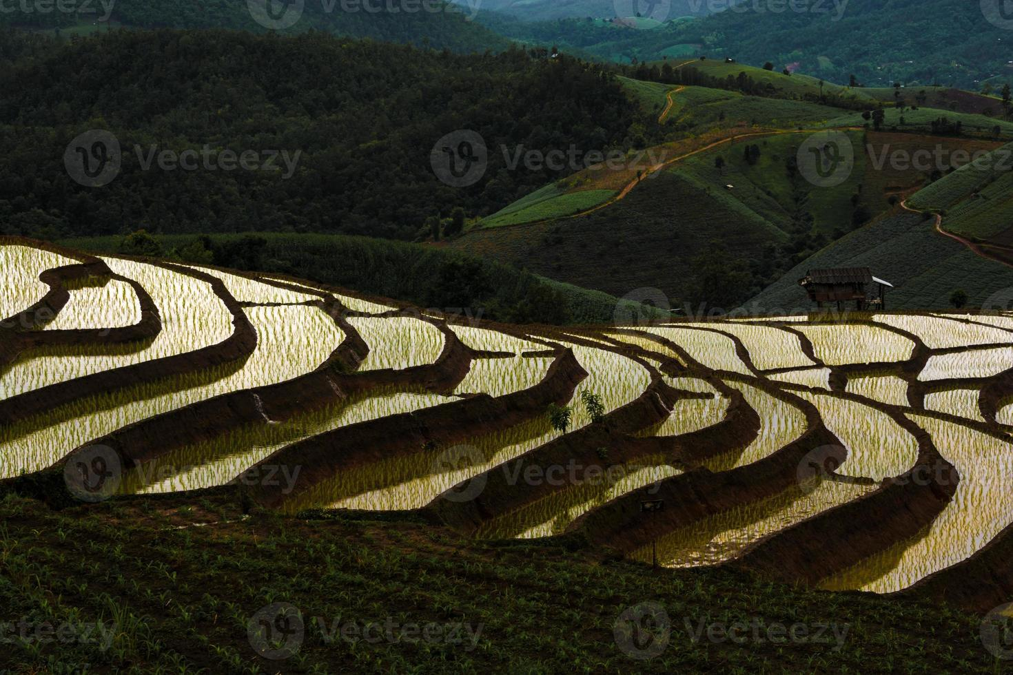 Rice fields on terraced photo