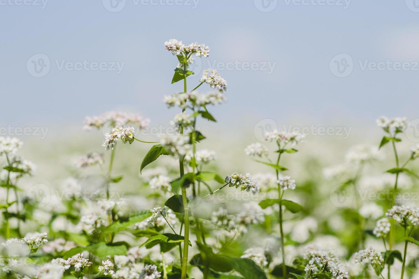 buckwheat photo
