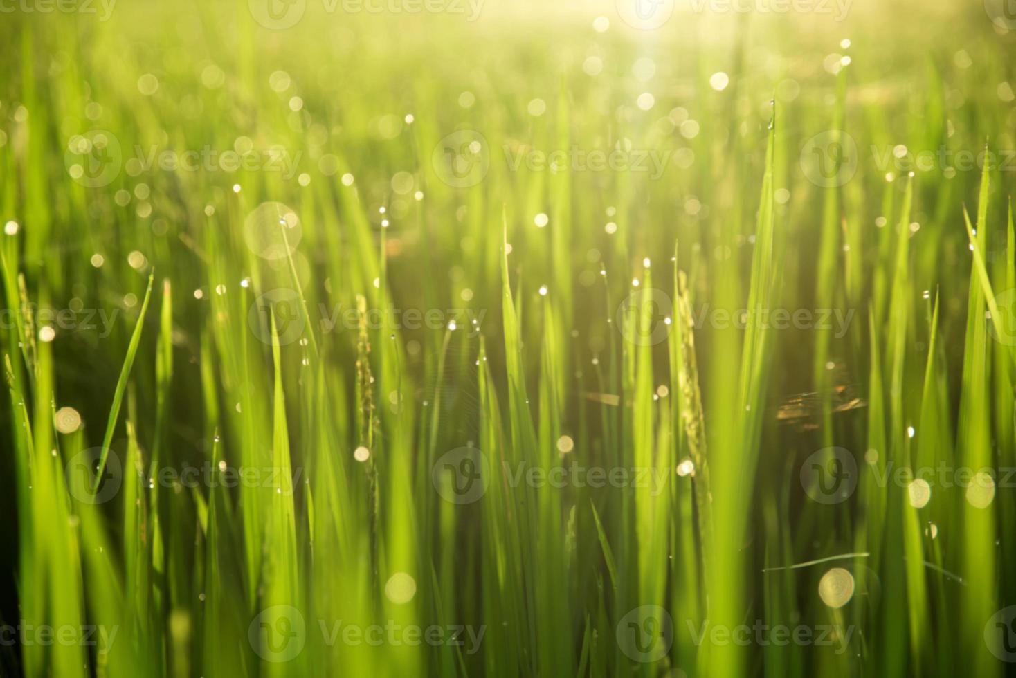 desenfoque de campo de arroz con cáscara en el fondo de la mañana foto