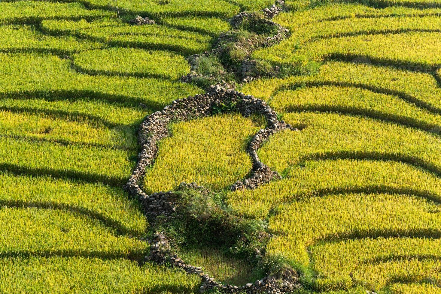 terraza de campo de arroz amarillo y verde. foto