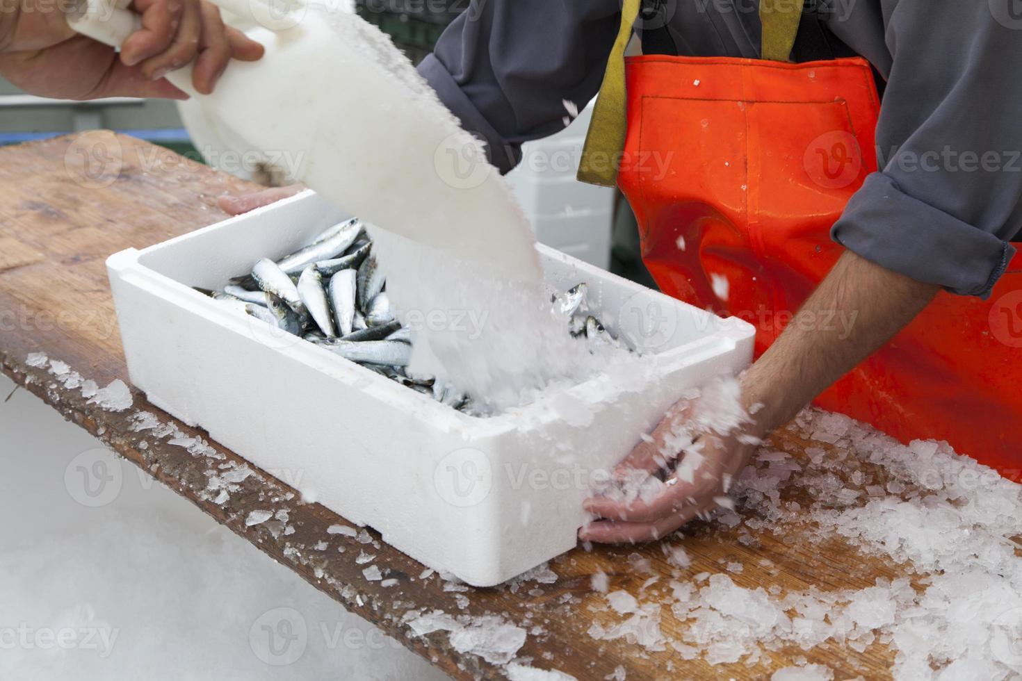 los pescadores preparan sardinas para el transporte foto