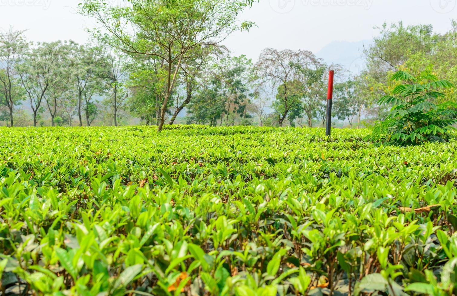 Green tea plantation photo