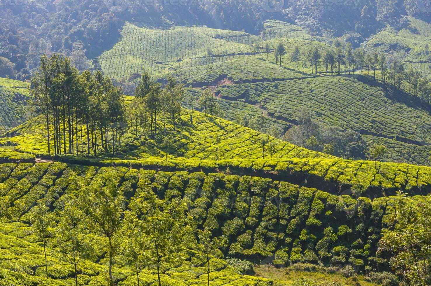 plantaciones de té en las montañas munnar foto