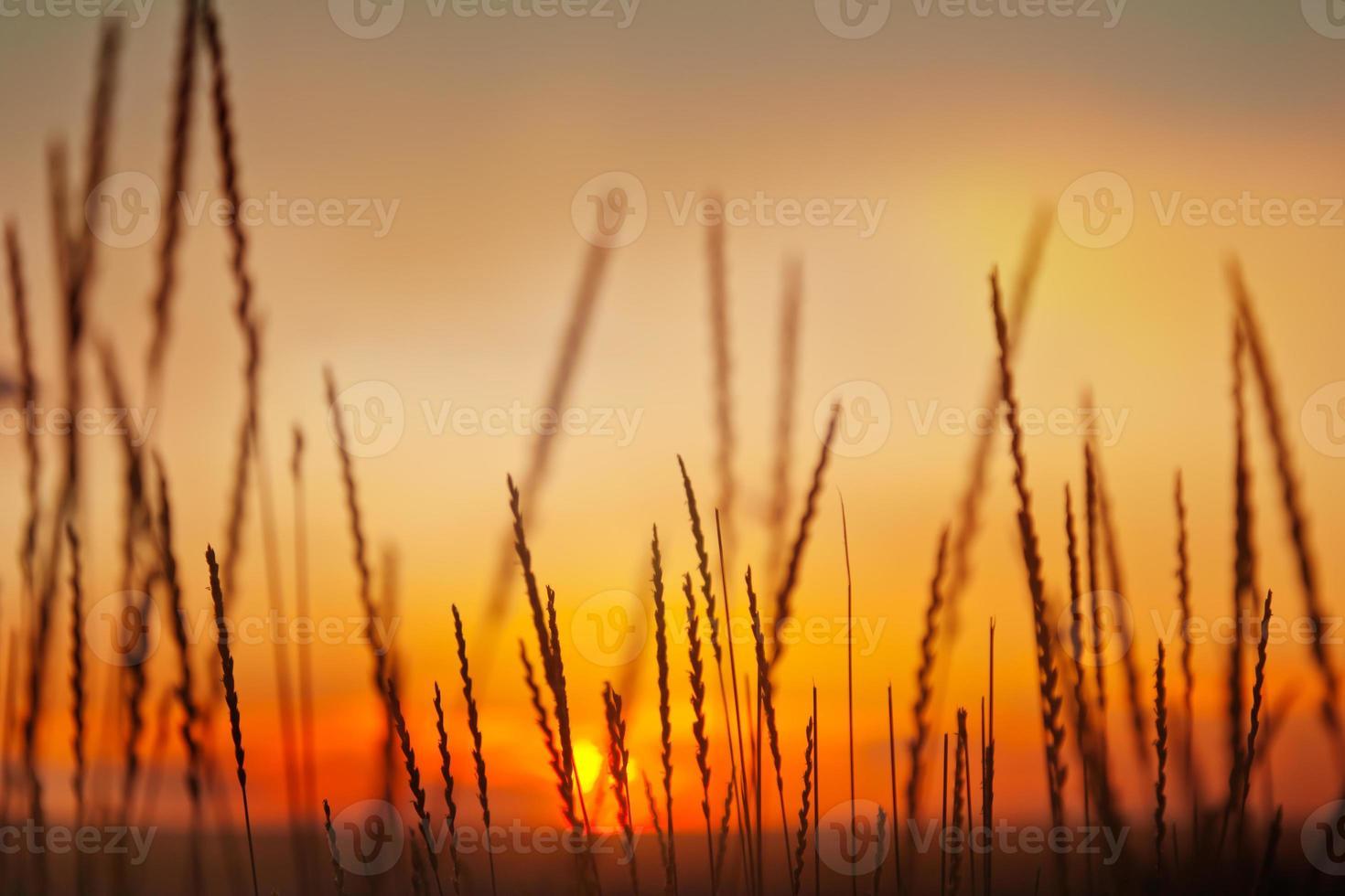 espiguillas en el fondo del cielo del atardecer foto