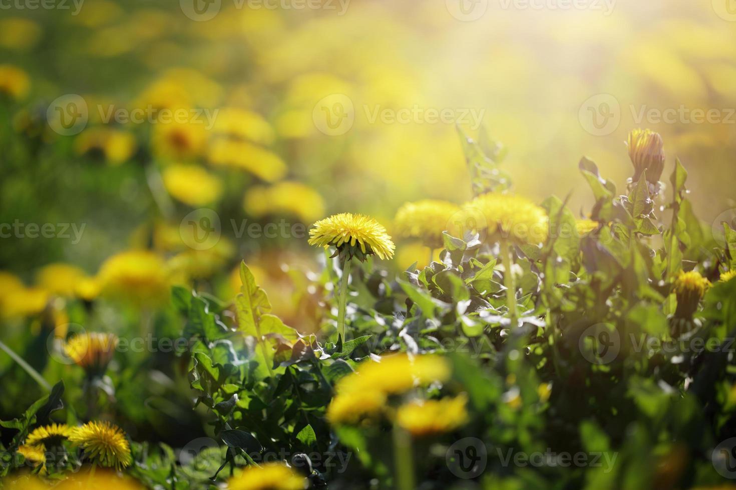 flores de diente de león en la luz del sol de la mañana foto