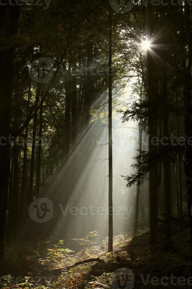 Sunbeams enters misty coniferous forest photo