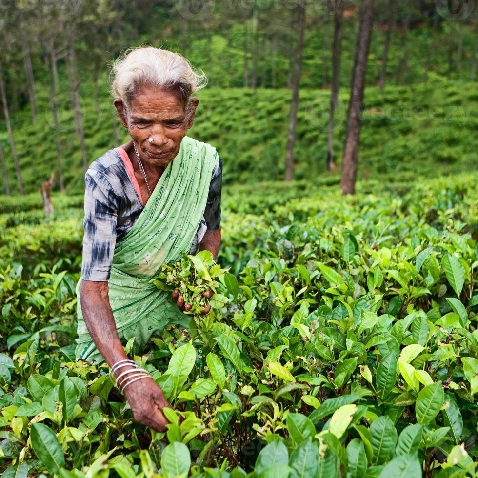 Tamil tea pickers collecting leaves, Sri Lanka photo