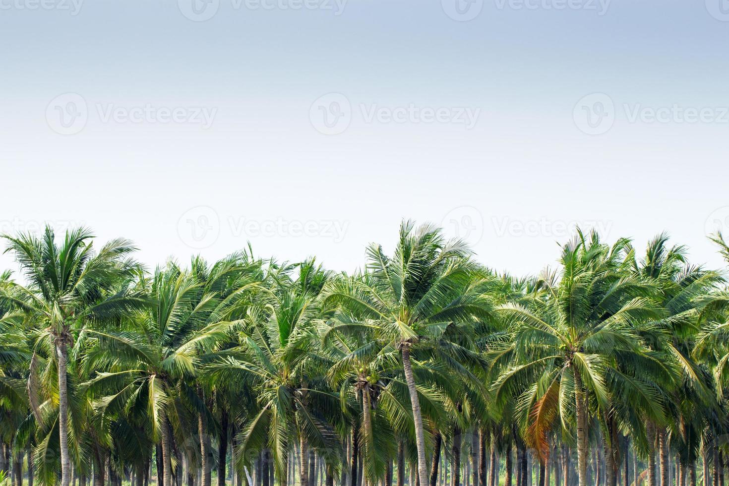 palmeras de coco foto