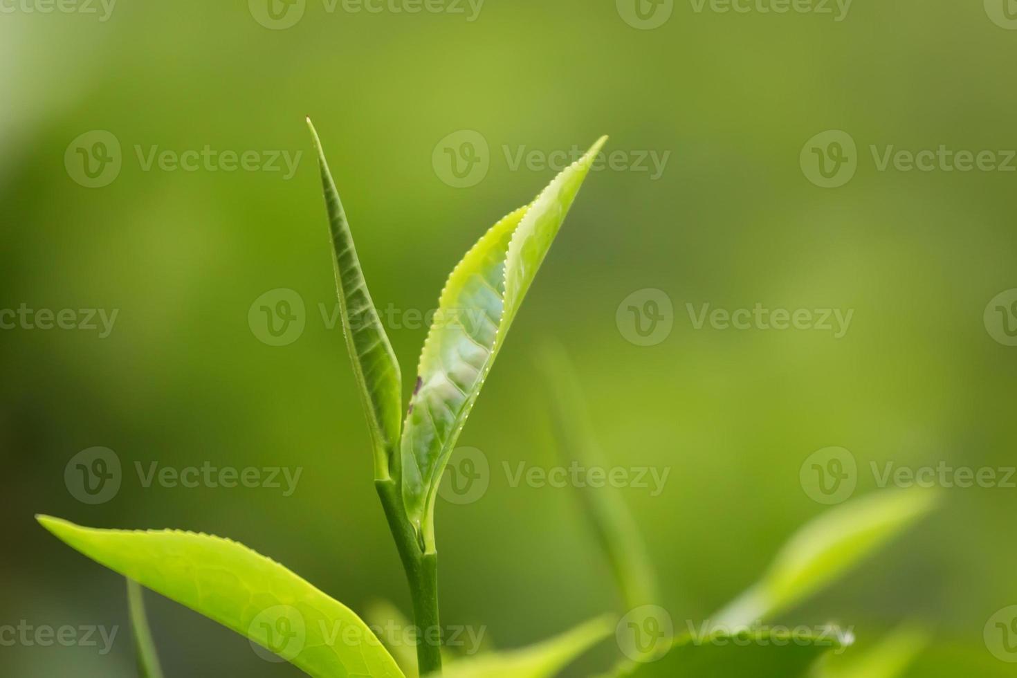 Tea Leaves photo