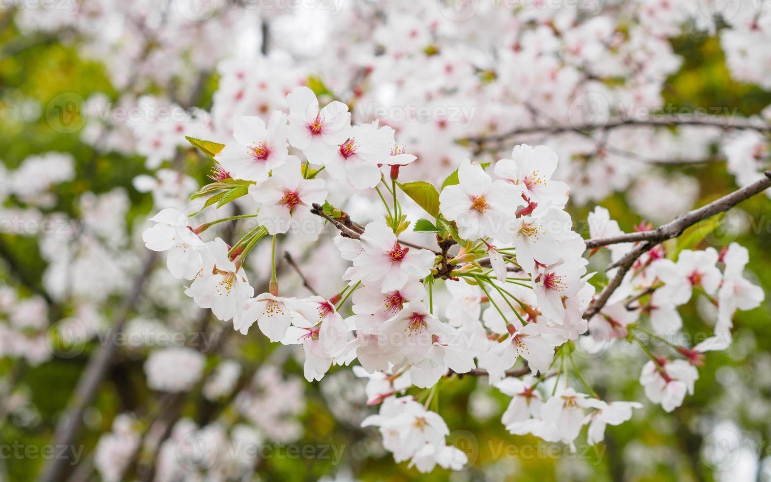 Beautiful Cherry blossom , pink sakura flowers photo