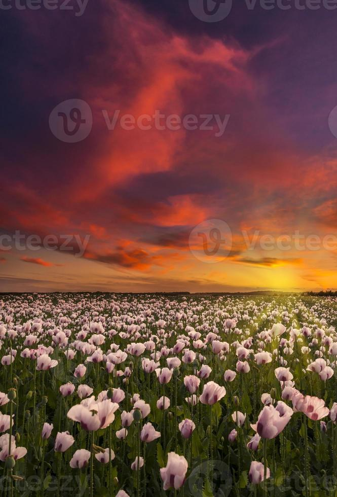 Thousands of white poppies under red skies photo