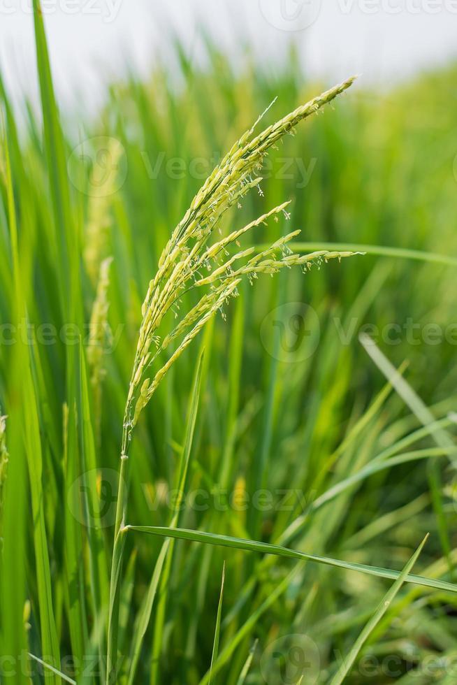 Espiga de arroz en campo de arroz. foto