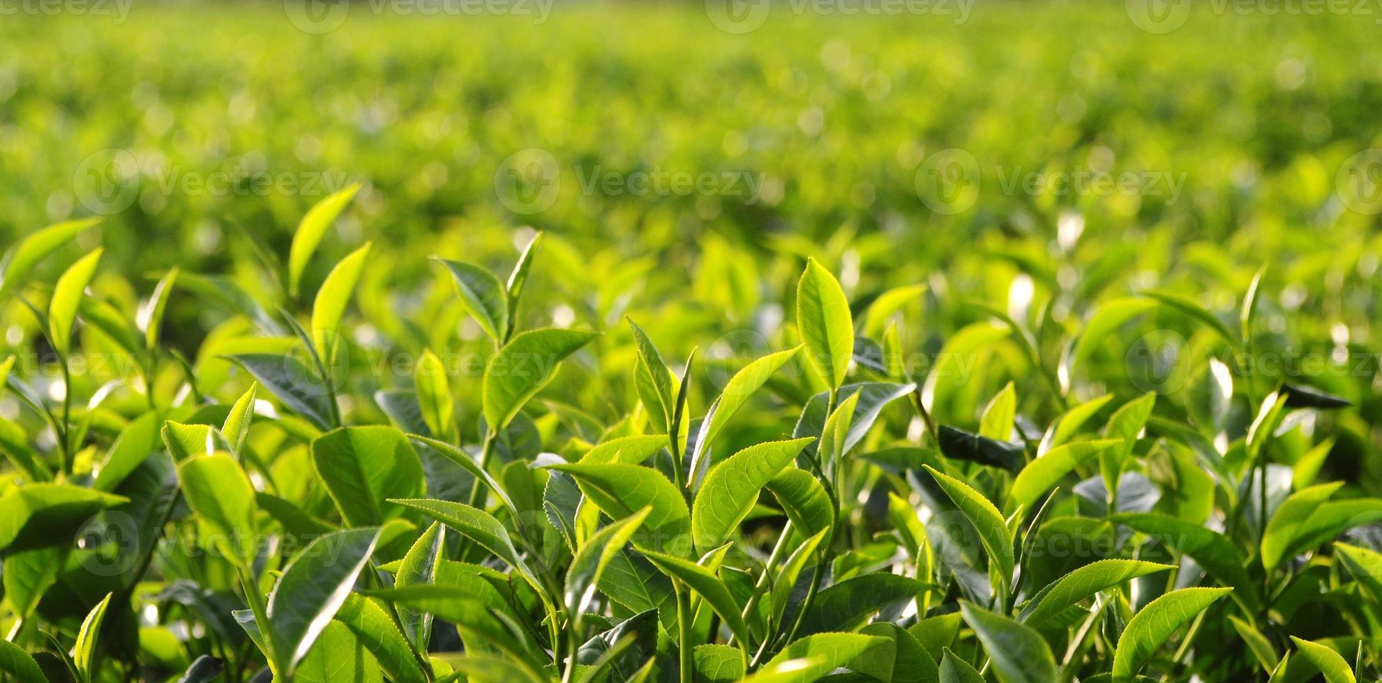 plantación de té foto