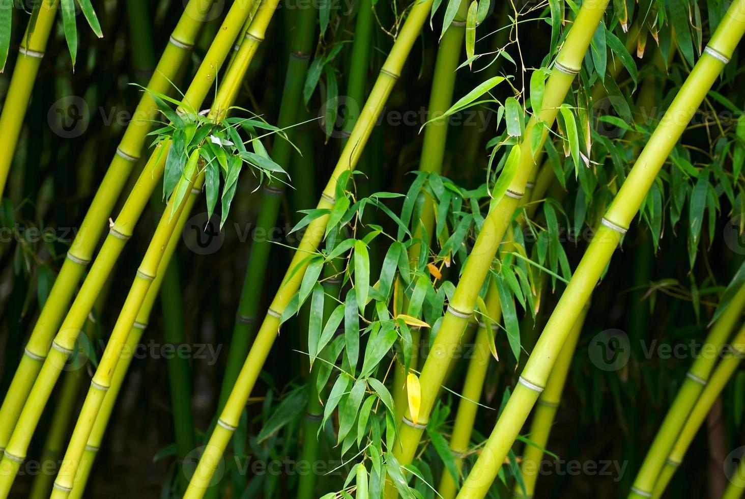 bambú foto