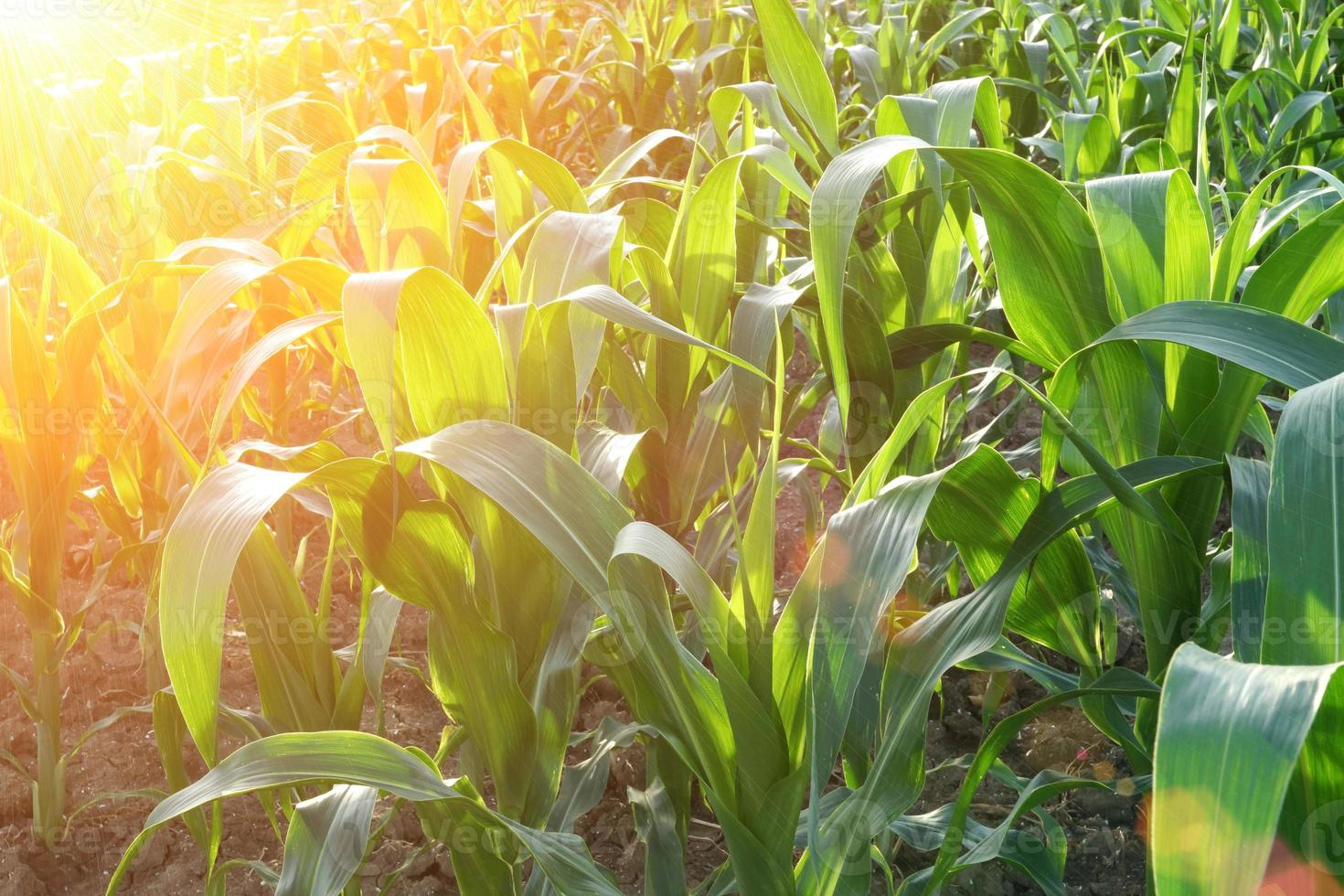 close de campo de milho no ocaso foto