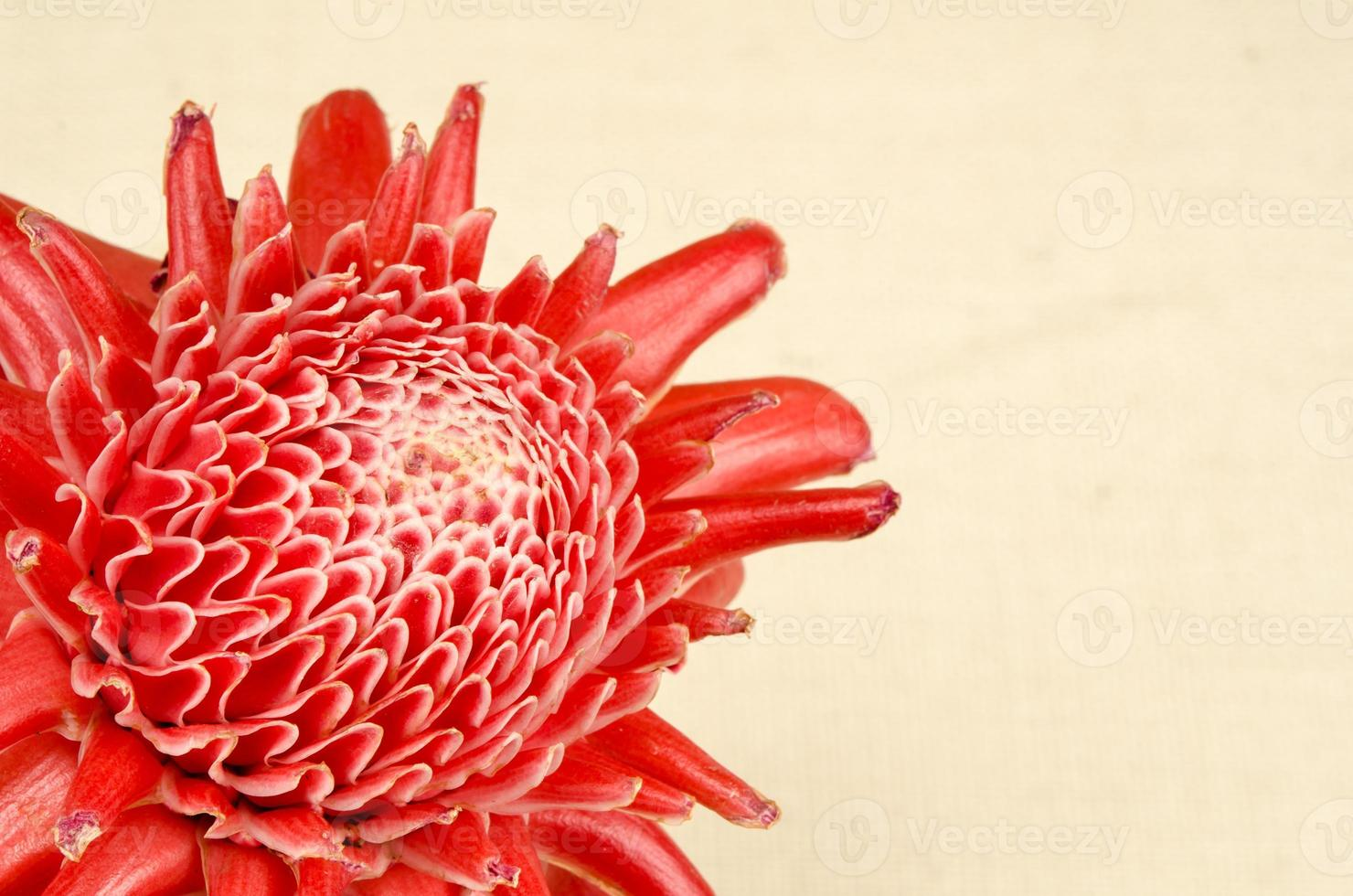 Torch ginger photo