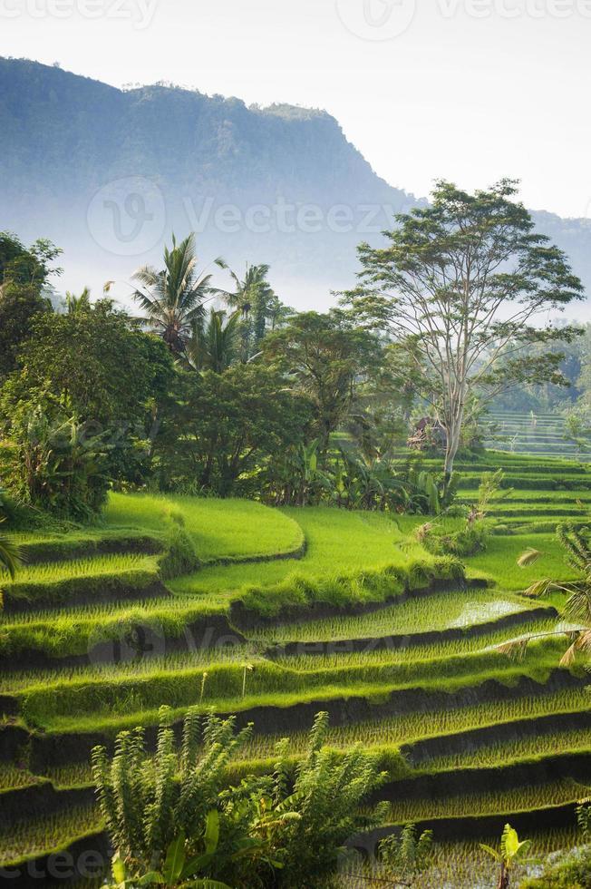 Bali Rice Fields photo