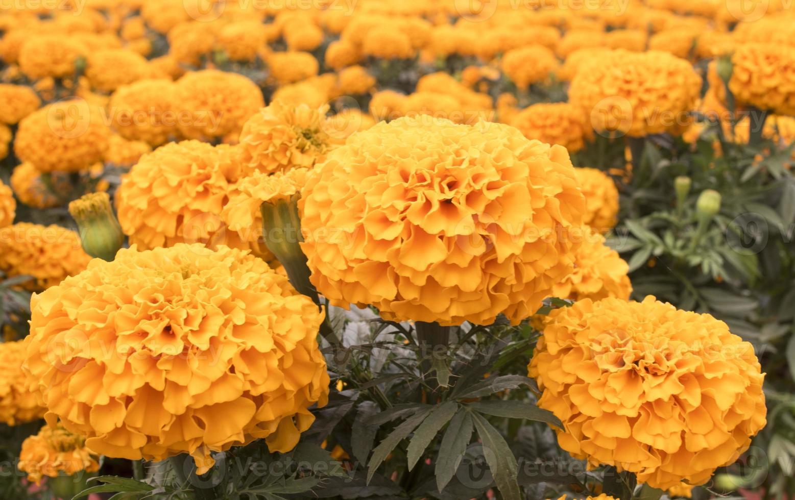 caléndula naranja - flor de cempasúchil foto
