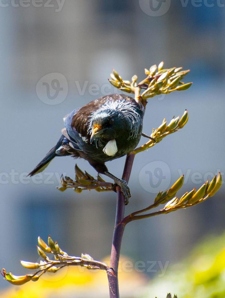 Tui bird perched on flax, front on. photo