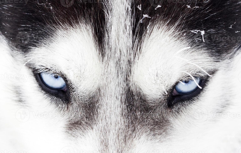 Close-up shot of husky dog blue eyes photo