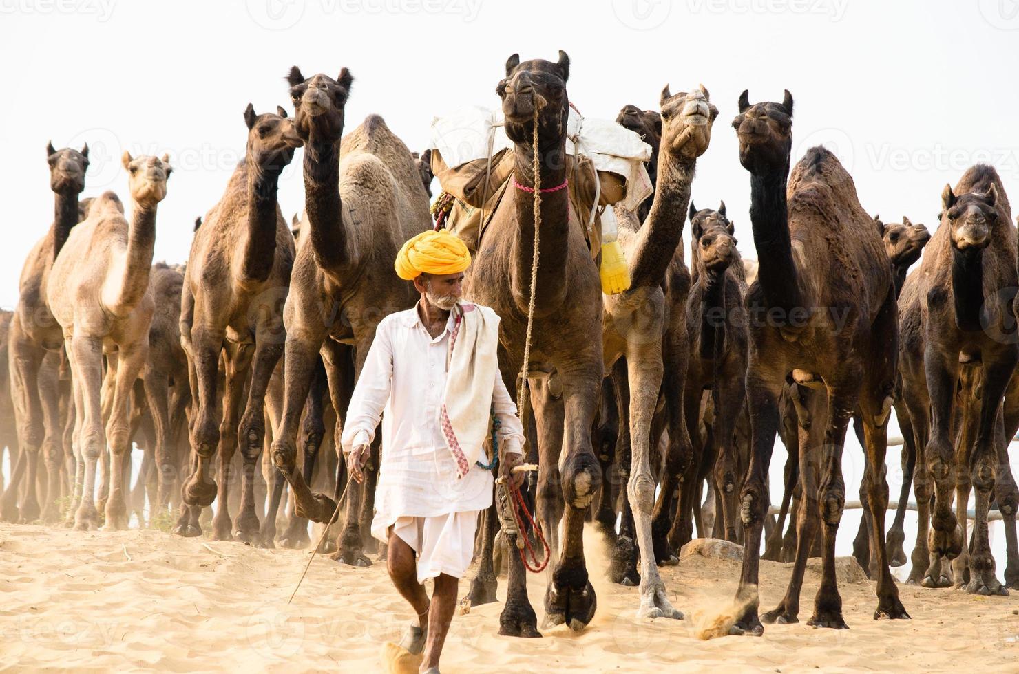 rebanho de camelos foto
