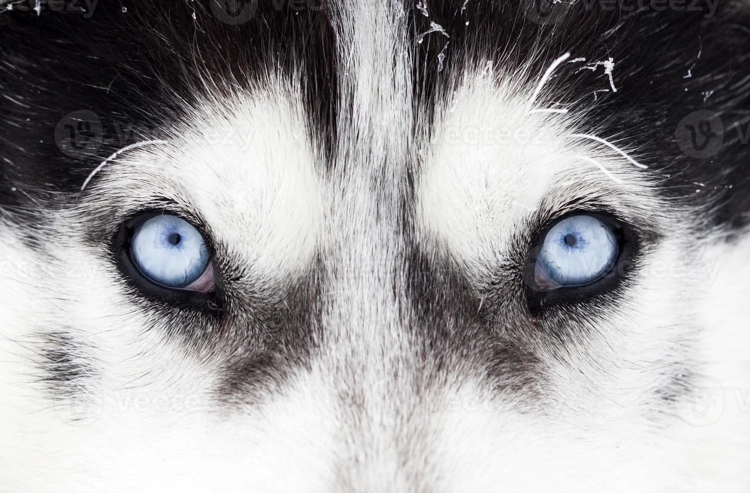 close-up, tiro, de, cão husky, olhos azuis foto