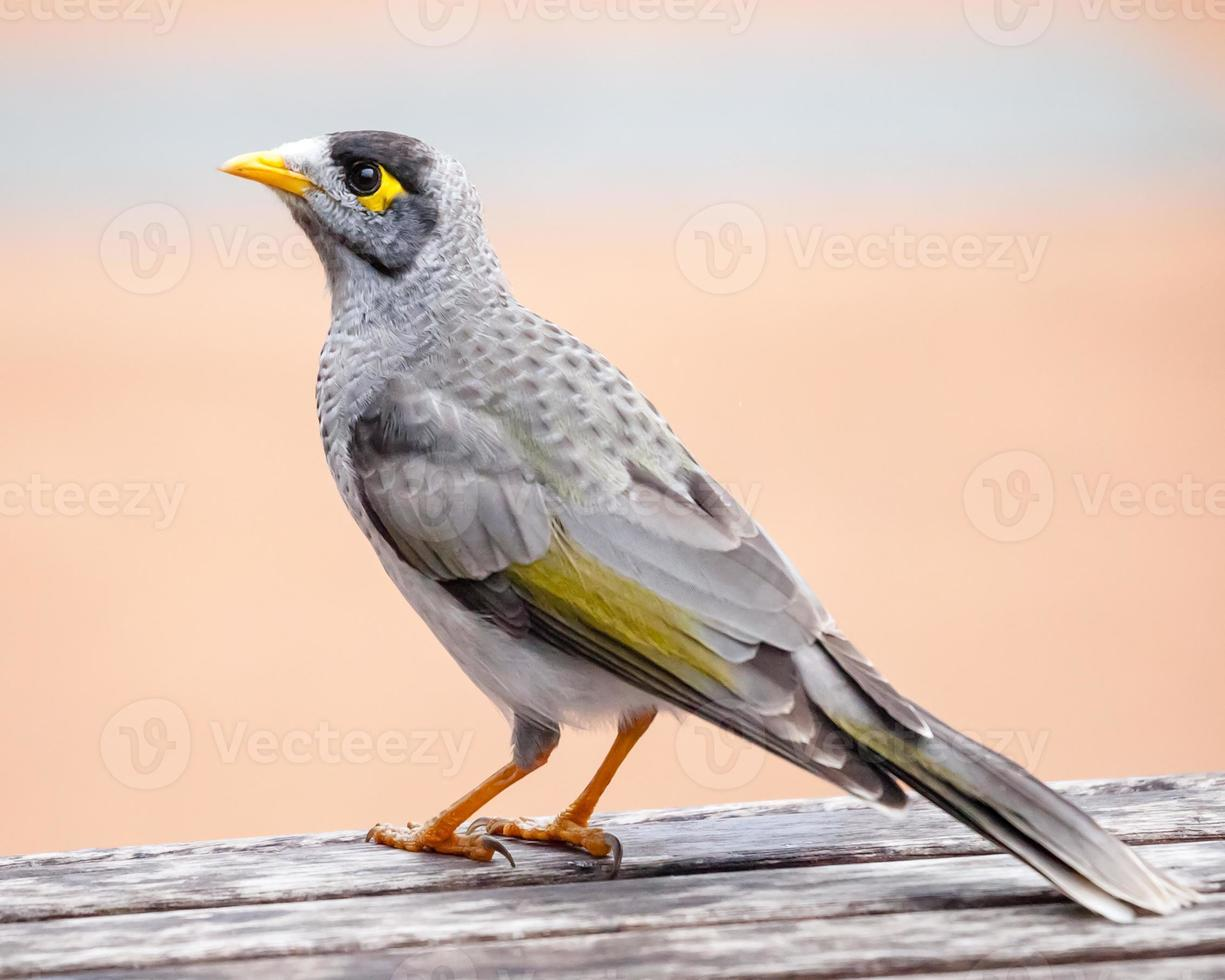 Noisy Miner Standing on a Wooden Table photo