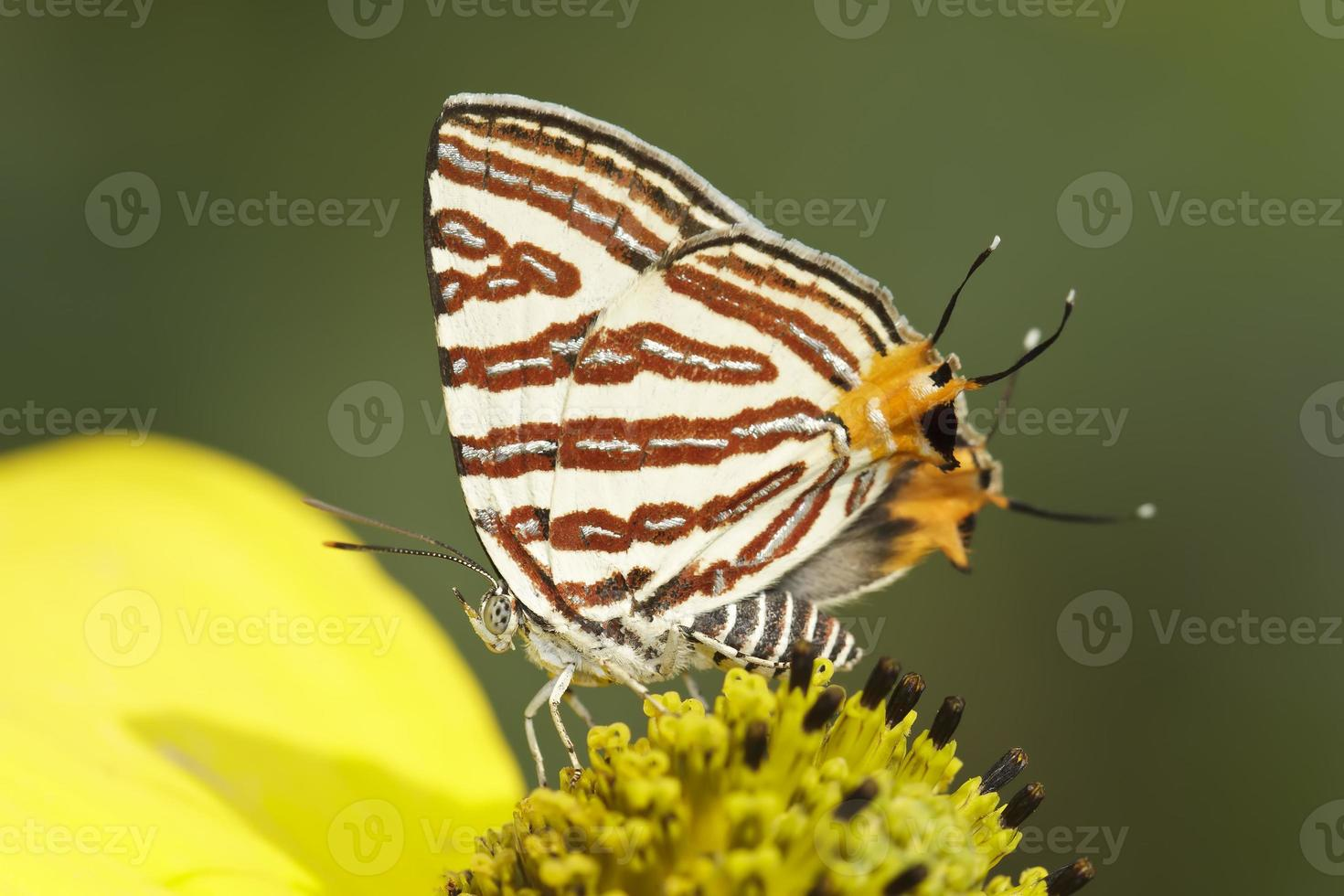 Butterfly (Small Long-banded Silverline) , Thailand photo