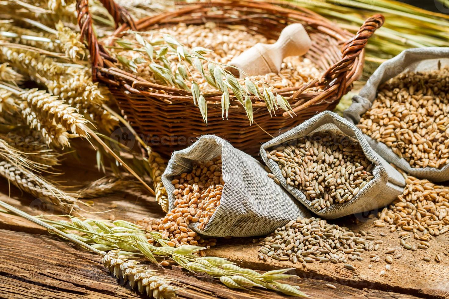 Different types of cereal grains with ears photo