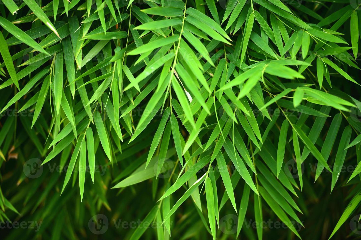 hojas de bambú foto