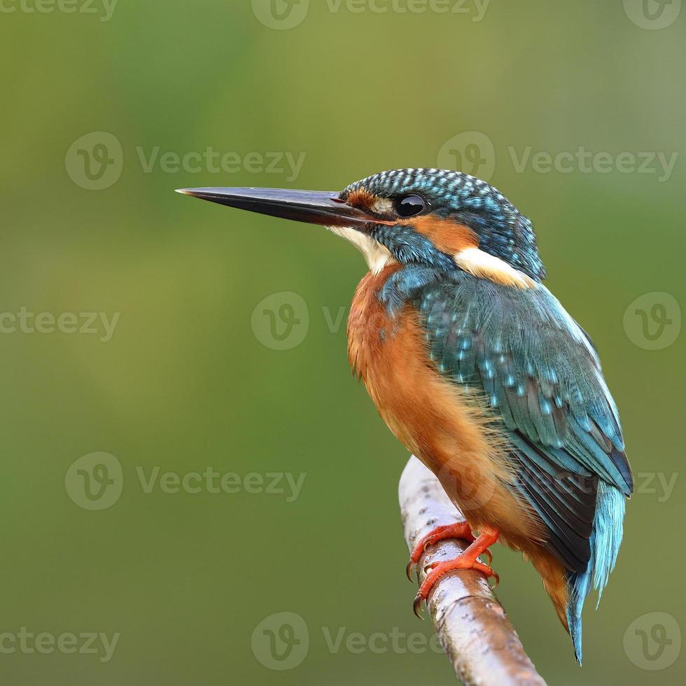 Common Kingfisher photo
