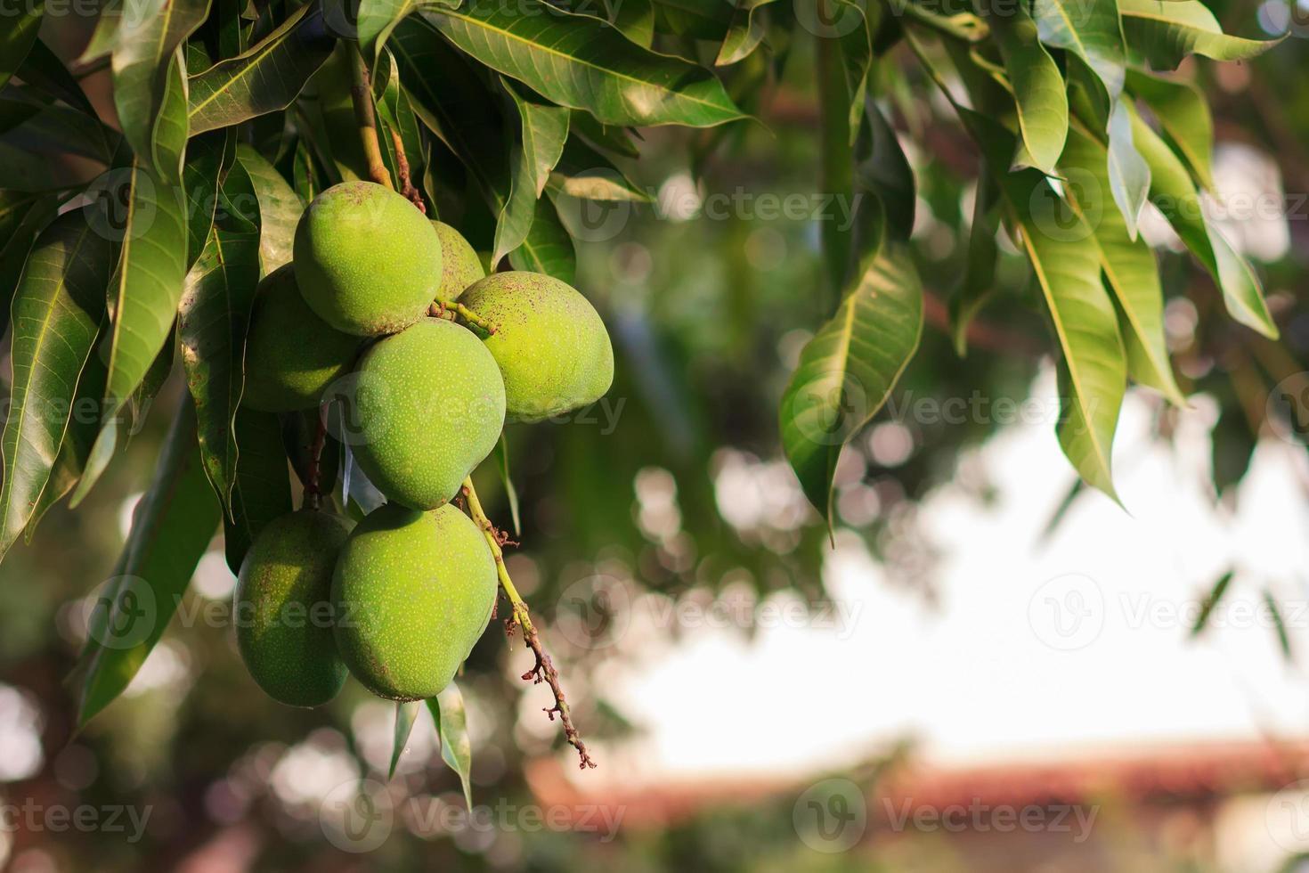 Bunch of green unripe mango on mango tree photo