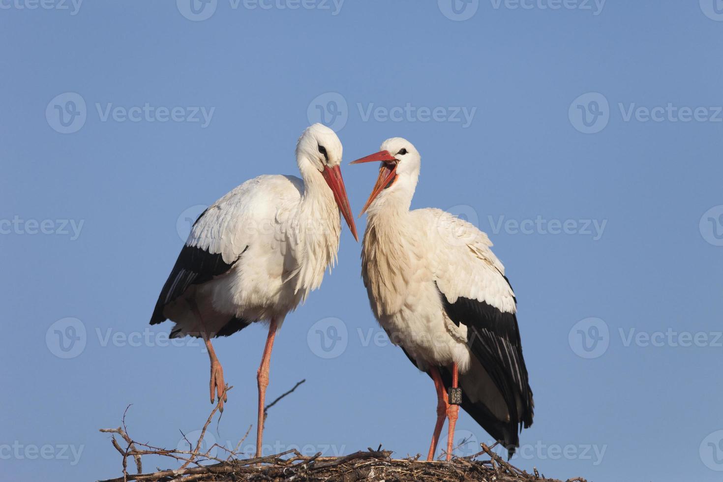 White stork couple photo