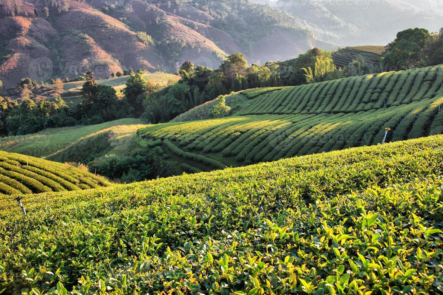 plantación de té en la luz del sol de la mañana foto