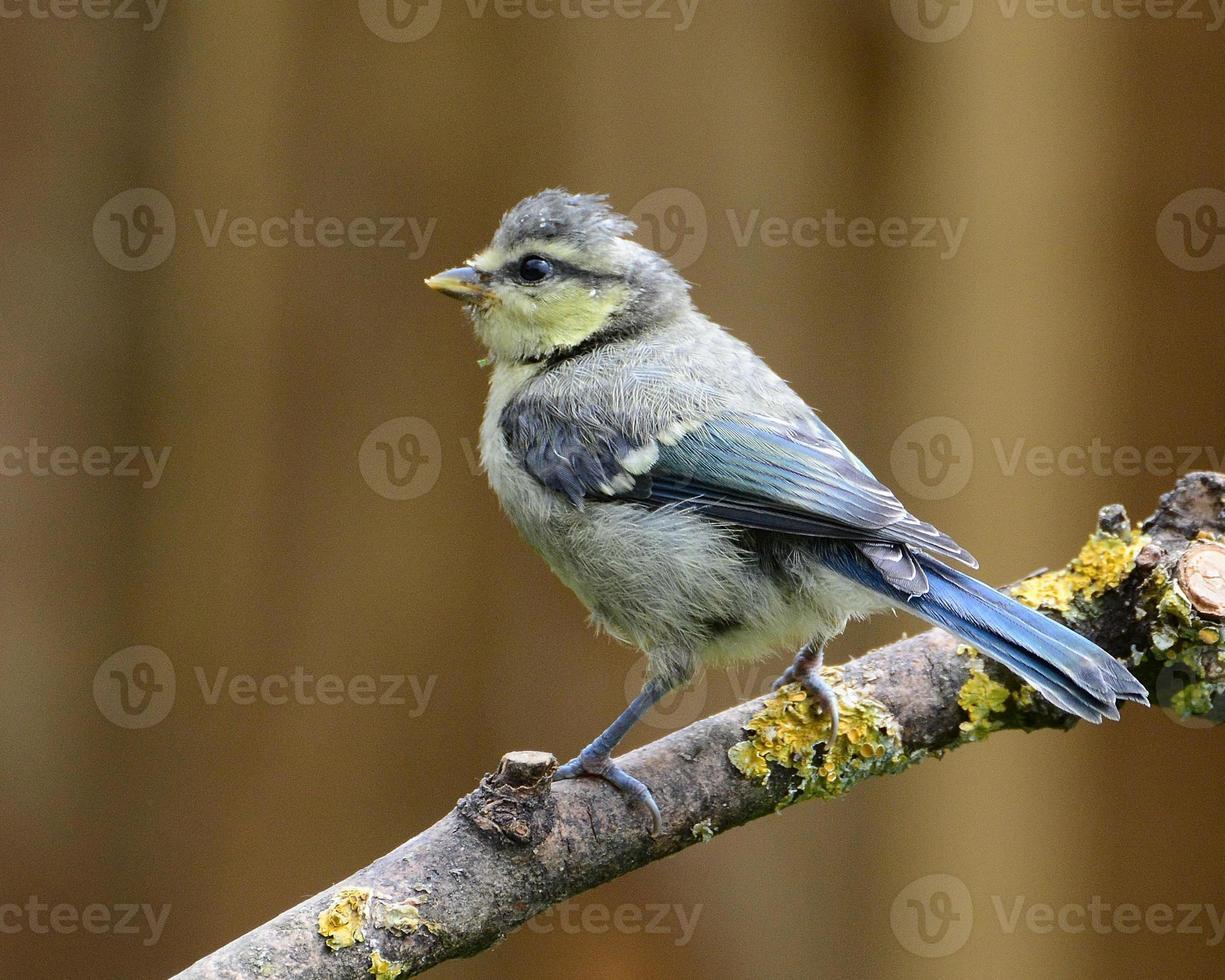Juvenile Blue Tit photo
