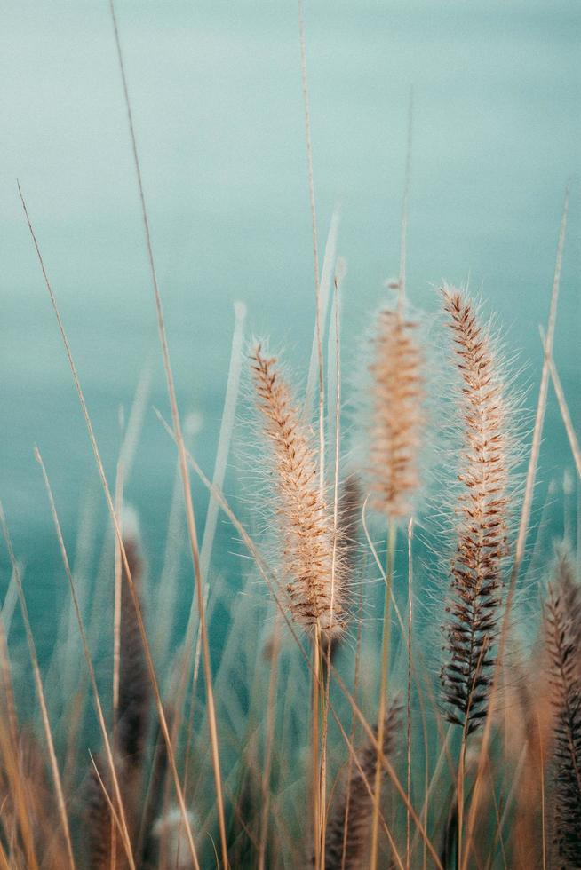 Dry wheatgrass against blue sky photo