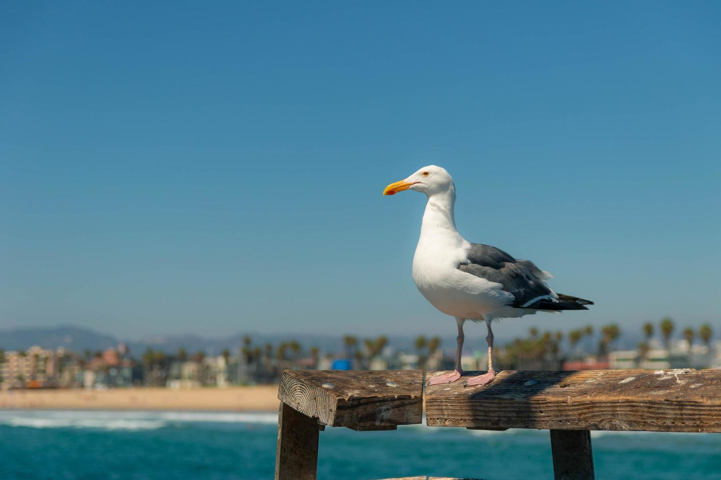 Seagull looking into the ocean in California photo