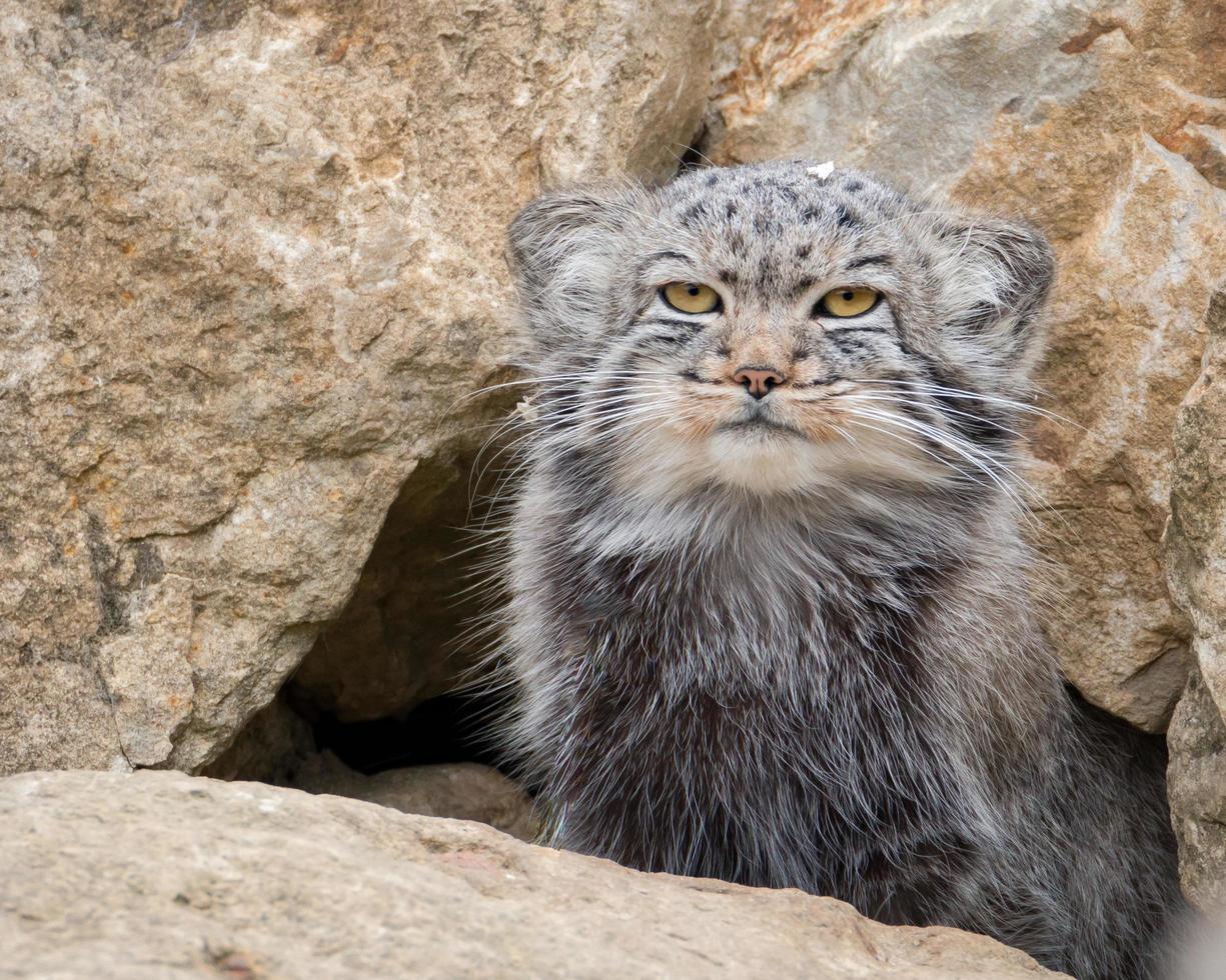 Pallas' Cat portrait photo