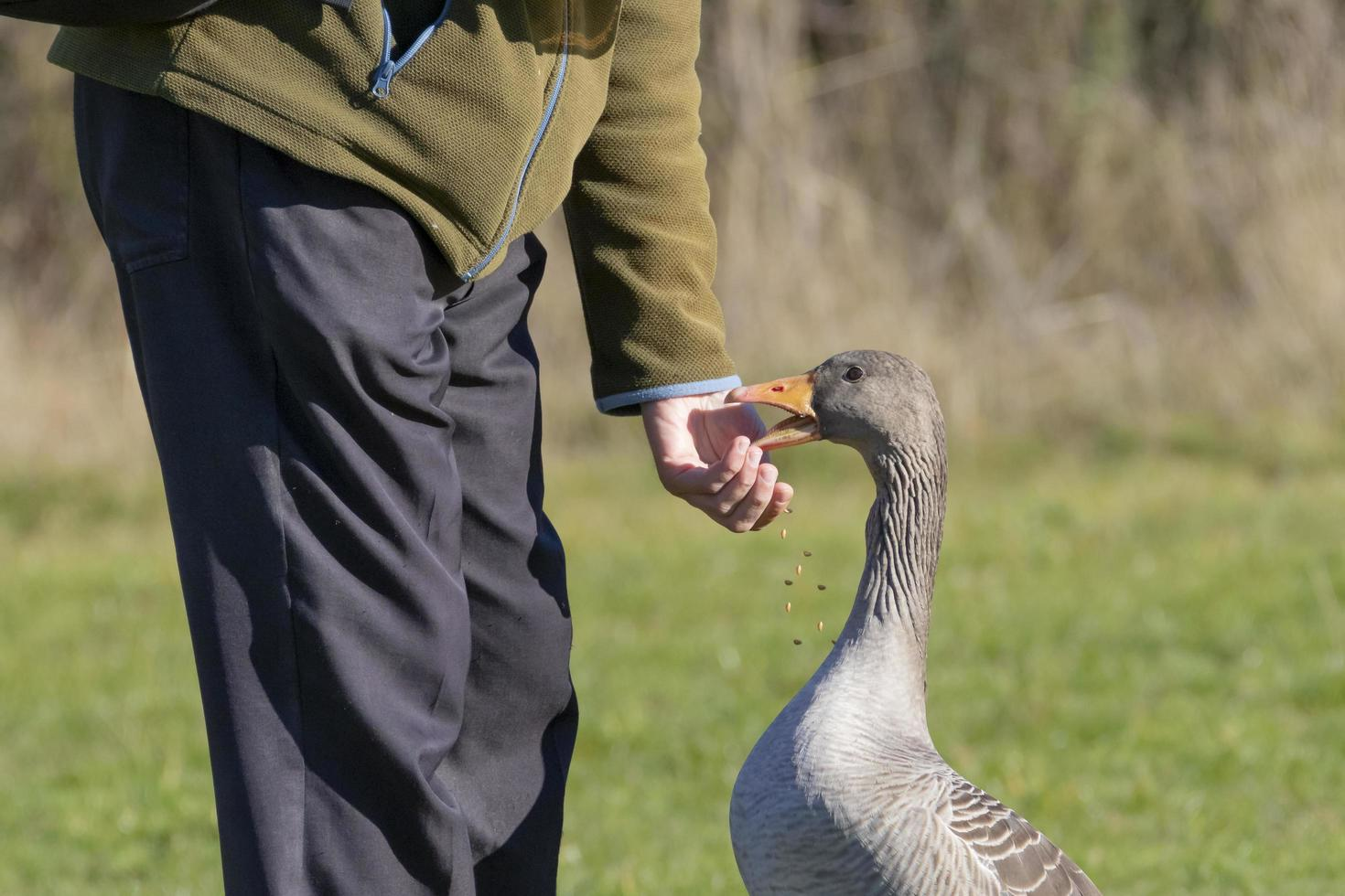 Greylag goose eating from hand photo
