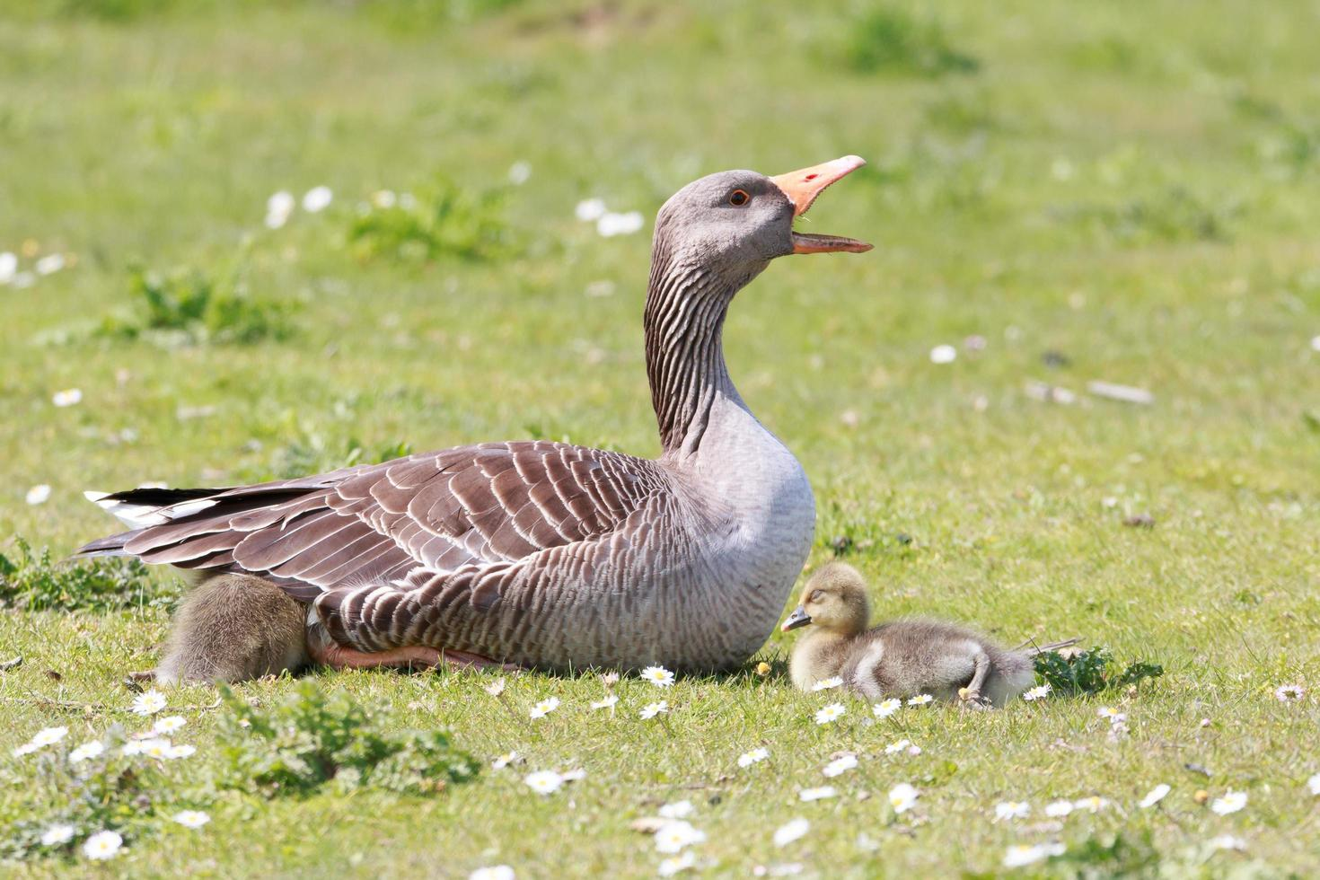Mother goose and babies photo