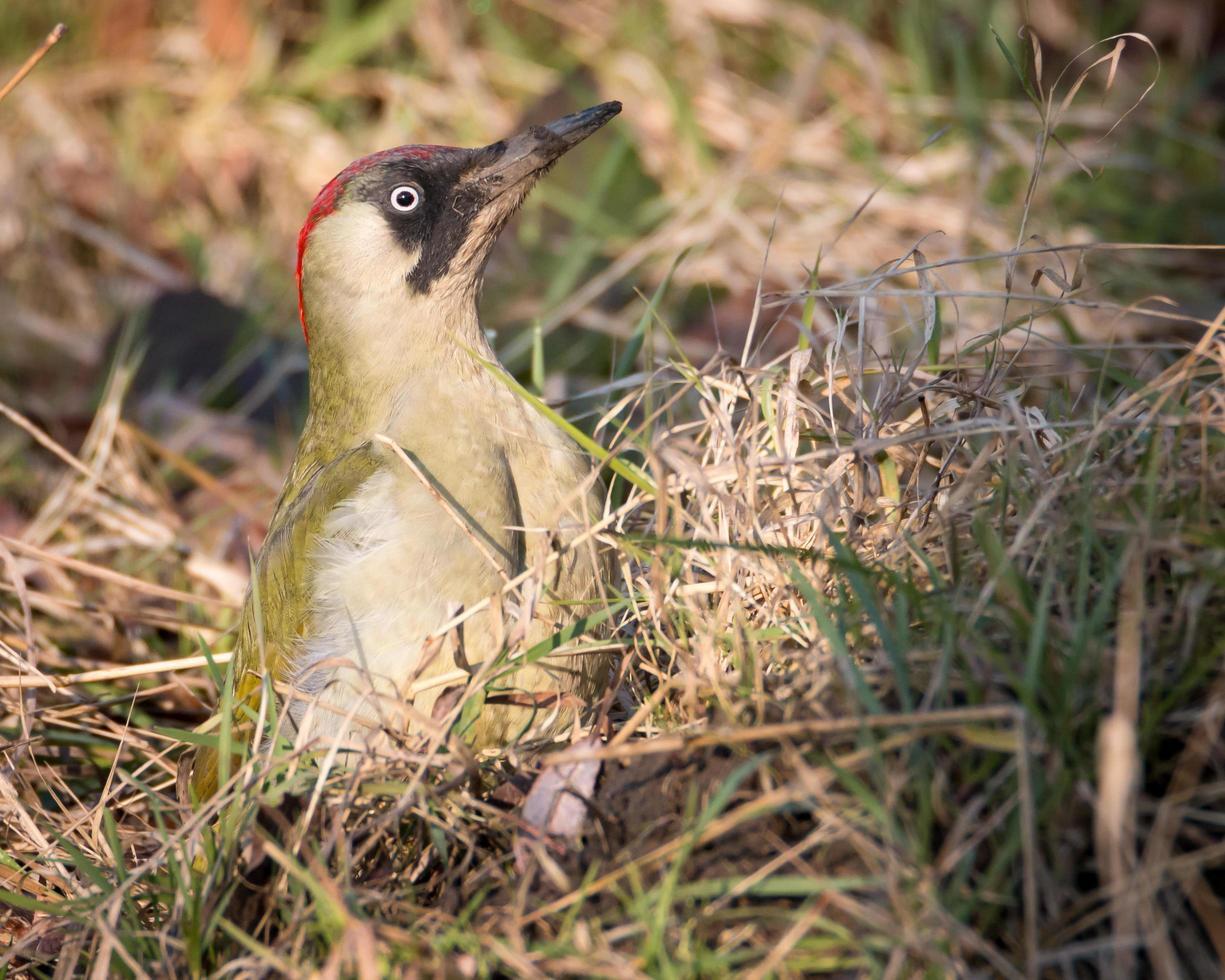 Green woodpecker in grass photo