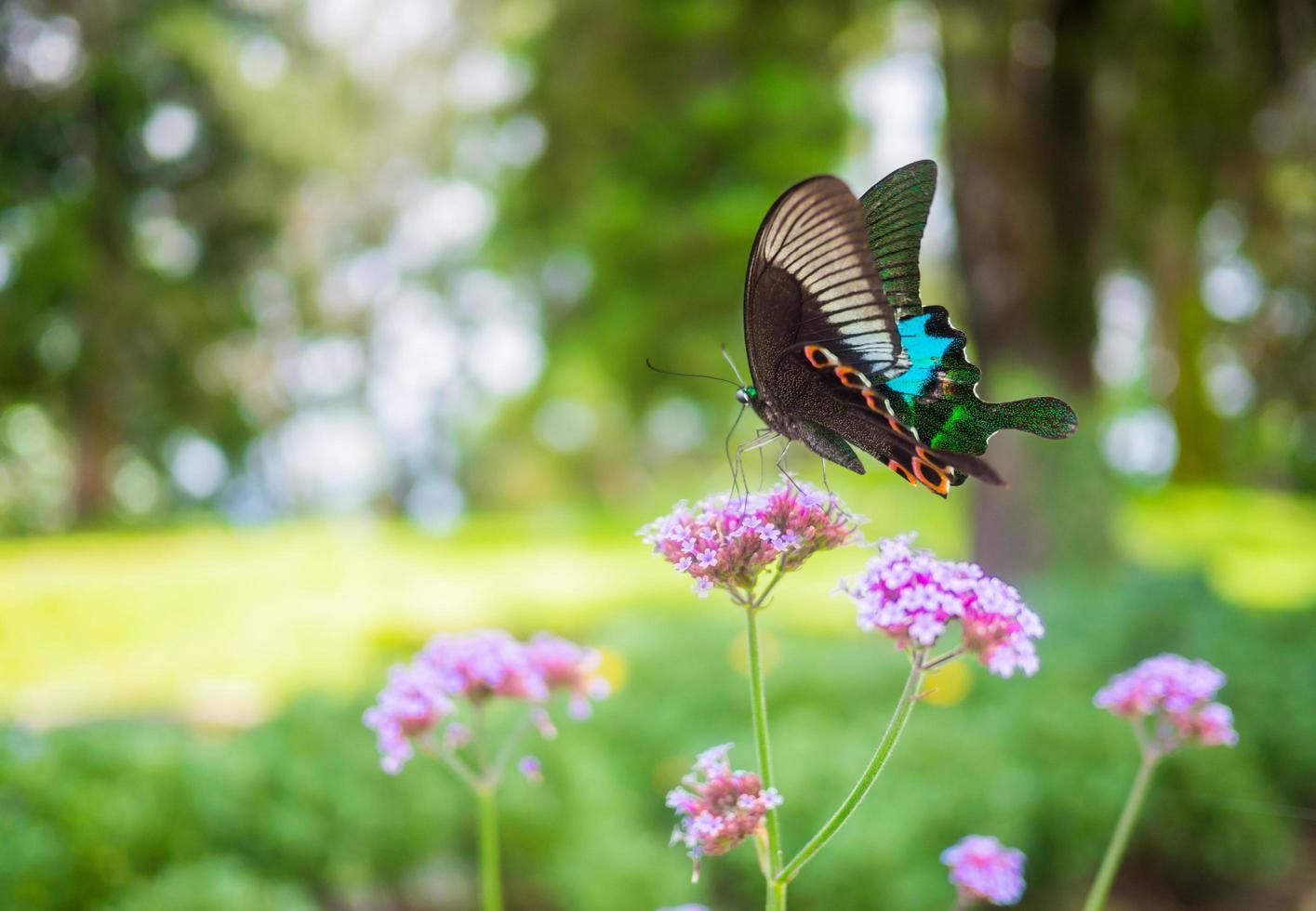 hermosa mariposa aterrizando en flores rosadas foto