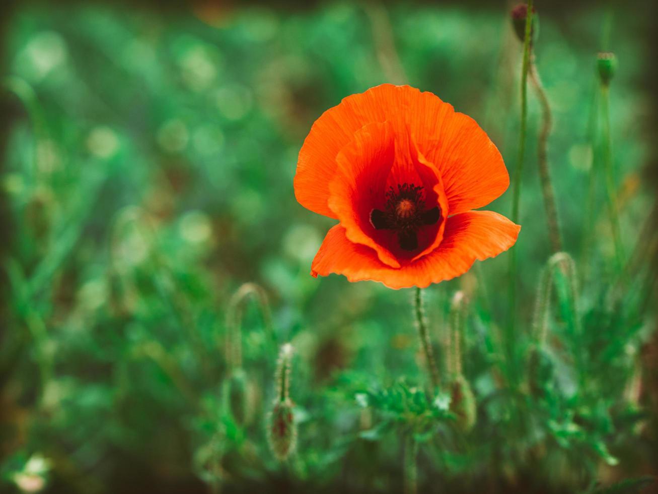 Single red poppy flower photo