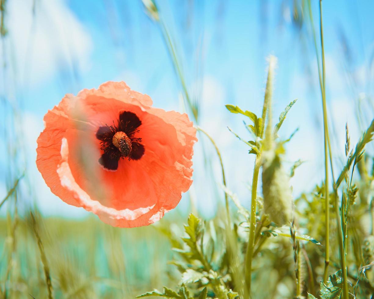 Red poppy flower on a green field photo