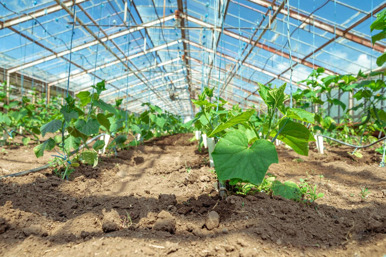 Cucumbers growing in a greenhouse  photo