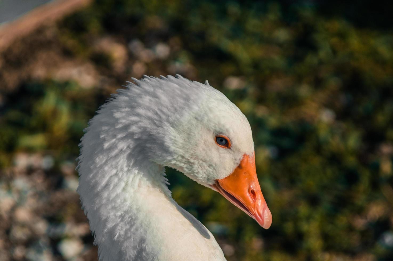 Close up of white goose photo