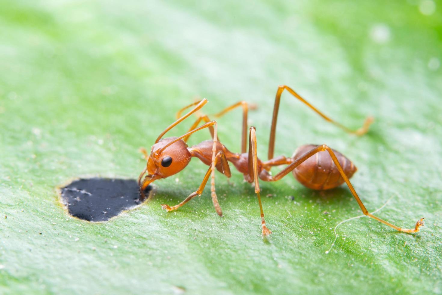 Macro ant on green leaf photo